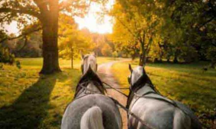 Starokladrubští koně v Praze na Letné