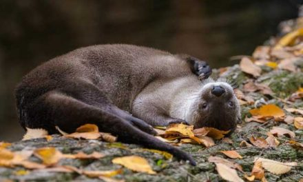 Podzim v Zoo Praha si užívají zvířata v listí i bazénu