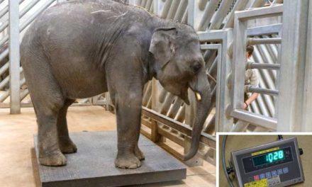Obě pražská slůňata už váží přes tunu a Zoo Praha už čeká další přírůstky