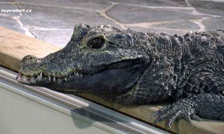 Největší krokodýlí Zoo by jen málokdo hledal v Holešovicích